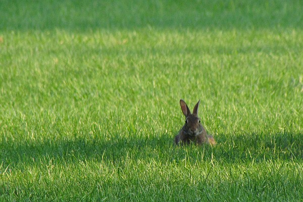 rabbit-on-a-lawn