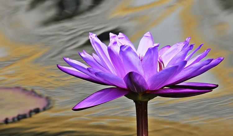 water-lily-nuphar-lutea-aquatic-plant-blossom-158551
